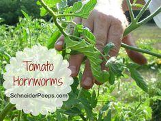 SchneiderPeeps - Tomato Hornworms