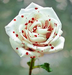 Quelle belle rose- blood spattered white rose simply, amazing God's creation.