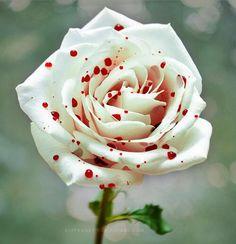 Quelle belle rose