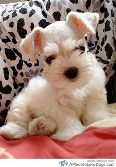 little white Mini Schnauzer puppy Cute Puppies, Cute Dogs, Dogs And Puppies, Doggies, Baby Dogs, Baby Baby, Baby Animals, Funny Animals, Cute Animals