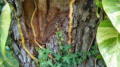 live oak and ivy; 2005 lightning strike scar