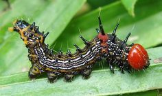 Schizura concinna, Red-Humped Caterpillar Moth..