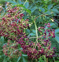 Foraging for elderberries: where to find and how to identify Sambucus canadensis, a shrub with edible berries and flowers.