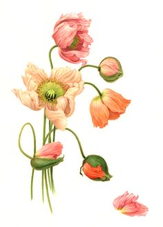 patrik botanical daffodil pinterest botanische. Black Bedroom Furniture Sets. Home Design Ideas