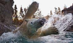 A polar bear jumps into the water