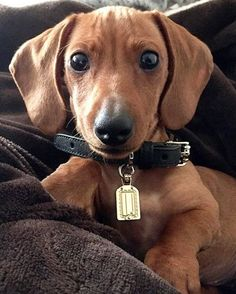Because every adorable little Dachshund puppy needs a perfectly sized Henri Bendel collar.