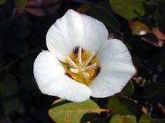 Description Leichtlins Mariposa Lily , Yosemite.jpg