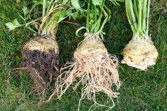Ezeket a dolgokat miért nem mondta el senki a zeller fogyasztásáról? Backyard For Kids, Diy For Kids, Root Recipe, Growing Seedlings, Lopez Island, Celeriac, Winter Vegetables, Herbs Indoors, Roots