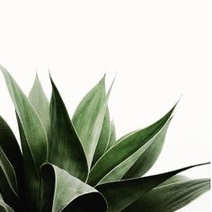 AGAVE....I fill my pots with this plant right now... #plant #agave #green #greenery #cacti #plantnerd by bohemdeluxe