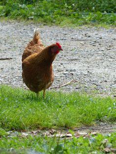 Poule rousse ou poule fermière. Une excellente pondeuse qui peut s'apprivoiser. Red hen.  ©www.image-gratuite.com