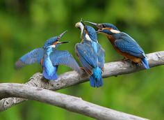 Martin-pêcheur d'Europe Alcedo atthis - Common Kingfisher | Flickr - Photo Sharing!