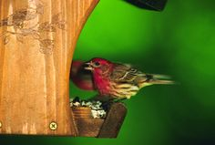 house finches on the porch - favorite seeds include small black oil sunflowers, thistle, white prosso millet, and canary seed.  Favorite fruits are cherries and mulberries.  Also like nectar, and can drink up to 40% of their body weight in water on a hot summer day.