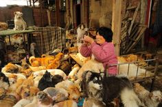 "*****WHAT AN AMAZING EARTH ANGEL!**********What A 63 Year Old Retired School Teacher Can Do for 1500+ Dogs and Cats!  A run-down yard in the Dongli District of Tianjin named ""Common Home"" (共同家园) is home to more than 1500 stray dogs and cats. The individual who took all of them in and cares for them is a 63 year old retired school teacher. Her name is Xiaoyun Yang (杨晓云)."