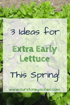 Beat the E-Coli out break by growing your own lettuce this year.  Here are 3 tips for having an extra early crop of lettuce in your vegetable garden this spring! #lettuce #growinglettuce #vegetablegardenideas