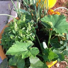 Potted vegetable plants
