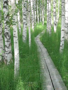 "A birch forest in Finland. Remington's cabin had these wooden walk ways all around the cabin. They are gone now . Mr Grubich and Elerins built their ""cabins "" there now."