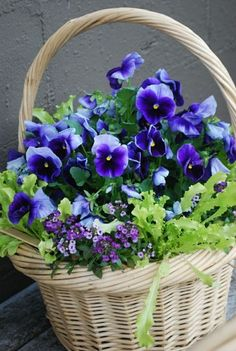 """basket of purple pansies. That's excactly such a basket I every early spring plat with """" light purple pansies. Even it still can be -degreases in the Nighthawk, the small flowers are rising itself, when the morningsun is comming! Gardening For Dummies, Pot Jardin, Arte Floral, Flower Basket, Pansies, Spring Flowers, Purple Flowers, Exotic Flowers, Yellow Roses"""