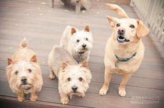 Denver pet photography, mastiff, Colorado Pet photography, Jenna Noelle Photography