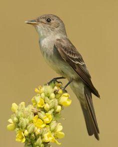 Eastern Wood-Pewee - Whatbird.com