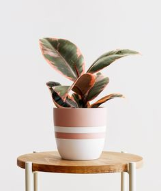 Large Plant Pots, Small Potted Plants, Ivy Plants, Indoor Plant Pots, Rubber Plant, Rubber Tree, Ficus Elastica, Shades Of Burgundy, Pink Plant