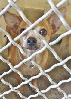**URGENT** This sweet angel is 7 and she has these incredible eyes, she makes you wants to pick her and and hold her to make her feel better. Please SHARE for her life, a FOSTER of Adopter would save her now. Thanks1  #A4866196 I'm an approximately 7 year old female chihuahua sh. at the Carson Animal Care Center since August 13, 2015