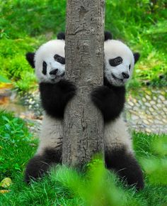 """Quick! Let's hide from mum and try to fit behind this tree!"" #Cute"