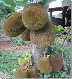 Jackfruit  in front of my home