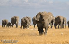 wild life tour : Elephants at Amboseli