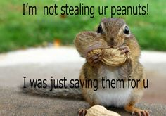 Browse through images in Lori Deiter's Chipmunks collection. Photos of Chippy. our wild pet chipmunk who eats tons of peanuts! Cute images for wildlife lovers or children. Squirrel Video, Cute Squirrel, Squirrels, Squirrel Memes, Squirrel Food, Flying Squirrel, Baby Squirrel, Very Funny Pictures, Funny Photos