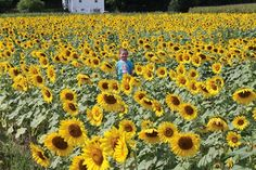 Why You Should Visit the Sussex County Sunflower Maze - NJ Family - September 2016
