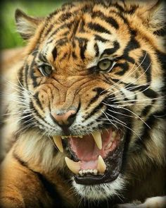 Don't mess with an angry tiger Tiger Fotografie, Big Cats, Cool Cats, Beautiful Cats, Animals Beautiful, Angry Tiger, Tiger Pictures, Gato Grande, Siberian Tiger