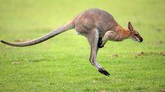 canguru, ícone australiano