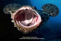 Jaw-dropping pic of a monkfish/goosefish's glorious gape