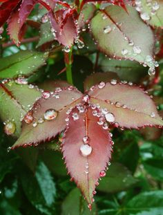 Dew drops on leaves, beautiful. Dew Drops, Rain Drops, Photographie Macro Nature, Morning Dew, Water Art, Water Droplets, Henri Matisse, Nature Pictures, Amazing Nature