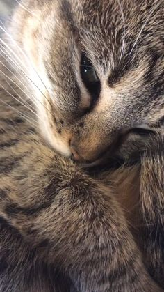 I take videos of my cat purring to play for her when she's stressed. Listening to the purring calms her down pretty fast, it works for people too. Pretty Cats, Beautiful Cats, Cute Cats, Funny Cats, Cute Baby Animals, Animals And Pets, Funny Animals, Animal Babies, Cute Puppy Videos