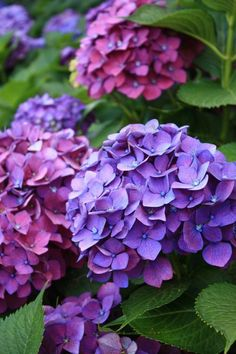 """Aesthetic Sharer ZHR on Twitter: """"Largeleaf Hydrangea… """" Hortensia Hydrangea, Hydrangea Garden, Hydrangea Flower, Amazing Flowers, Purple Flowers, Beautiful Flowers, Flowers Nature, Flower Pictures, Watercolor Flowers"""