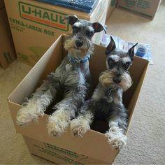 All About Miniature Schnauzer Black Puppies Baby Puppies, Cute Puppies, Cute Dogs, Dogs And Puppies, Doggies, Miniature Schnauzer Puppies, Schnauzer Puppy, Baby Animals, Cute Animals