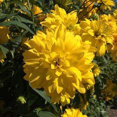 Из этого замечательного цветка в детстве получались шикарные желтые ногти. Космея - это слишком банально  а из каких цветов лакоманьяки делали себе маникюр в детстве?