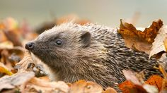 Autumn leaves are starting to fall, but don't be tempted to get rid of them all. Instead, how about tidying them into a corner of your garden or a compost heap? They'll make a great home for lots of different creatures, including one of these little chaps if you're lucky! #homesfornature