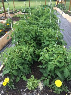 Tomato Bed   beetsandbutter.com - a vegetable gardening adventure