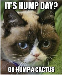 It's hump day? Go hump a cactus Grumpy Cat Humor, Cat Memes, Grumpy Kitty, Grumpy Face, Terrible Twos, Cat Pin, Funny Animals, Cute Animals, Grumpy Cat Birthday