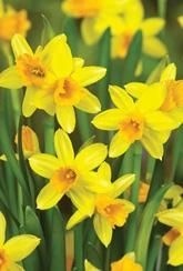 These Narcissus Tete-a-Tete - Daffodil Bulbs will be wonderful located in containers, beds and borders in various parts of your garden. When these bulbs have produced fully grown plants they'll add a riot of colour.