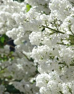 white lilacs- I love!  My purple bush finally has buds after several years of growing!!!