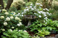 Heuchera Blackberry Jam 3 PLUG plantes-Hardy Plantes Vivaces livraison gratuite