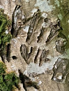 Baum geritzt# Geschnitzte Initialen# Rinde geritzt# Foto# Interessant was man an Bäumen so findet. City Photo, Pictures, Wood Carvings, Tree Structure