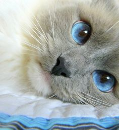 This looks like one of my Balinese cats I had years ago...LOVE LOVE LOVE