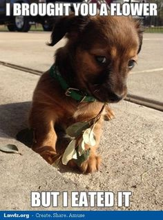 Chiweenie puppy for Byerly Funny Animal Memes, Dog Memes, Cute Funny Animals, Funny Animal Pictures, Cute Baby Animals, Dog Pictures, Funny Dogs, Animals And Pets, Puppy Meme