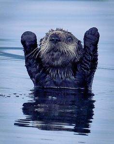 Ok....you got me..... I give up! Northern Pacific Sea Otter