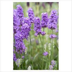 Lavender angustifolia 'LAVENITE PETITE'