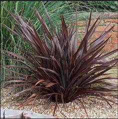 Nouvelle maison jardin plante 3 graines Phormium Tenax Nouvelle-Zélande Purpureum lin graines